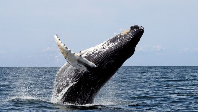 Humpback Whale--California faces lawsuit over whale entanglements