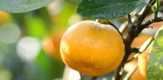 Florida Citrus Industry--Orange
