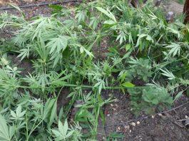 illegal marijuana destroyed