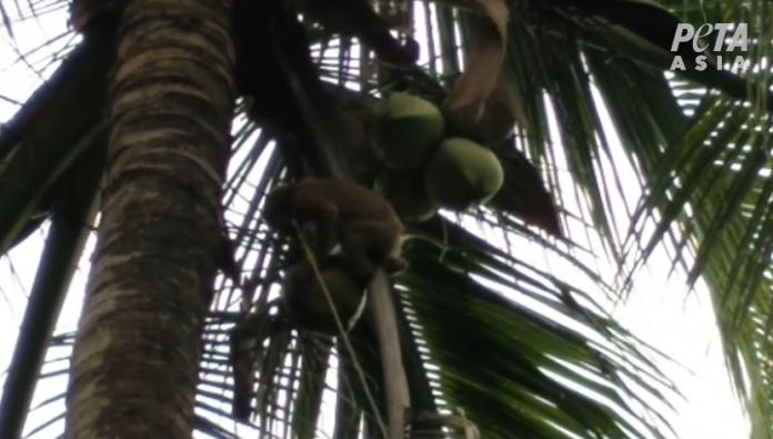 Chaokoh coconut milk- slave monkey picking coconut Thailand