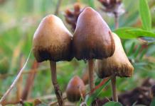 Psilocybin or magic mushrooms