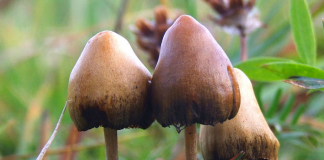 Psilocybin or magic mushrooms